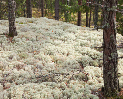 Our Reindeer Moss is Environmentally Friendly