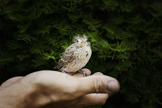 Fledgling bird in hand.jpg