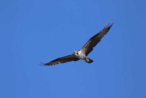 Aguila de Mar.jpg