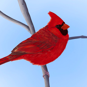 Cardinal_.jpg