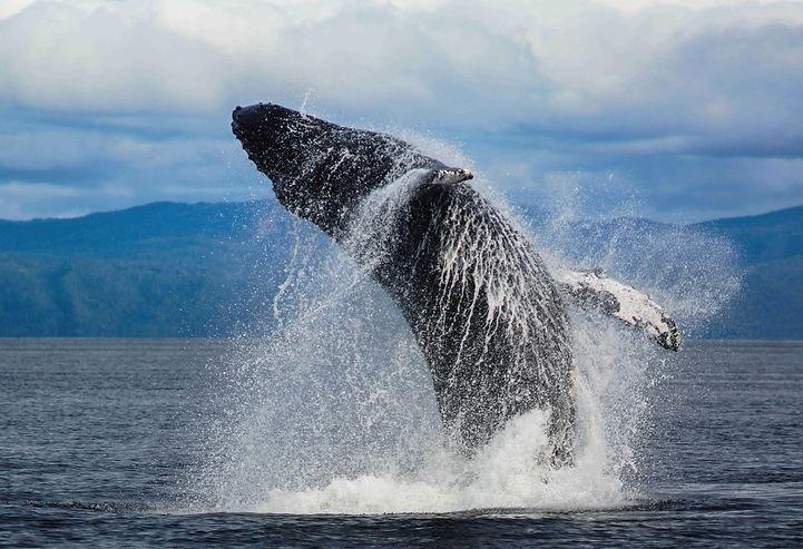 Whale Ballet .jpg