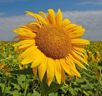 The Sunflower .jpg