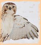 webKathryn_Lentz_hawk_birds.jpg