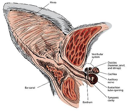 cat ear anatomy