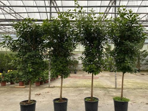 Ficus Green Island Standard