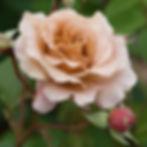 julia garden rose.jpg