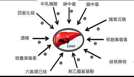 保護肝臟.png