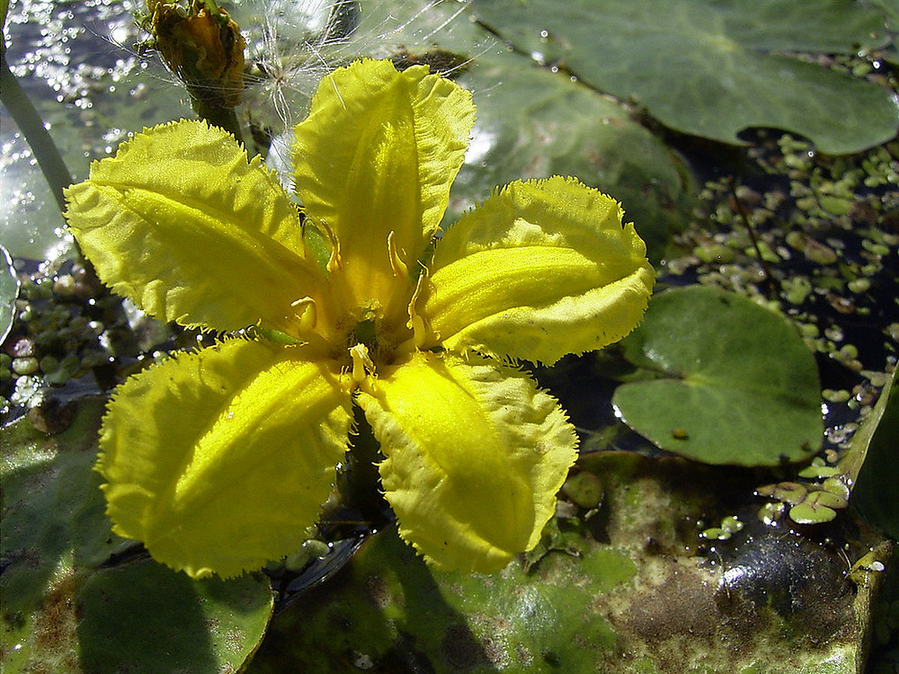 Yellow Floating Heart (Image from Wikipedia)