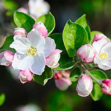 Apple Blossom.jpeg