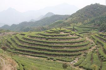 Volcanix is the best for Organic Tea Garden