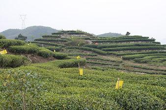 Volcanix for Organic Tea Garden