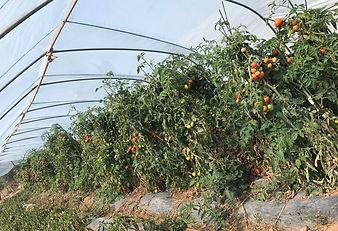 Volcanix for tomato