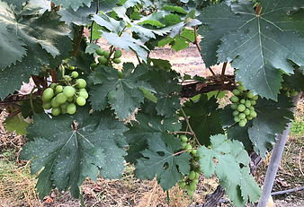 Vines need Volcanix nutrition