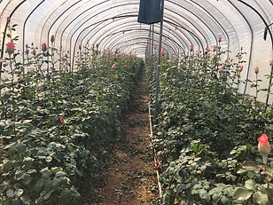 Roses - Humic Active.jpg