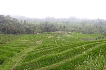 Volcanix protect rice