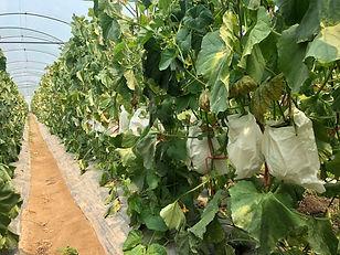 Melon harvesting.jpg