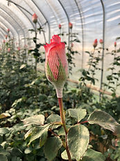 Roses with Humic Active.jpg