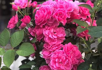 RosesHomeGarden.jpg