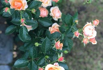 RosesFromGarden.jpg