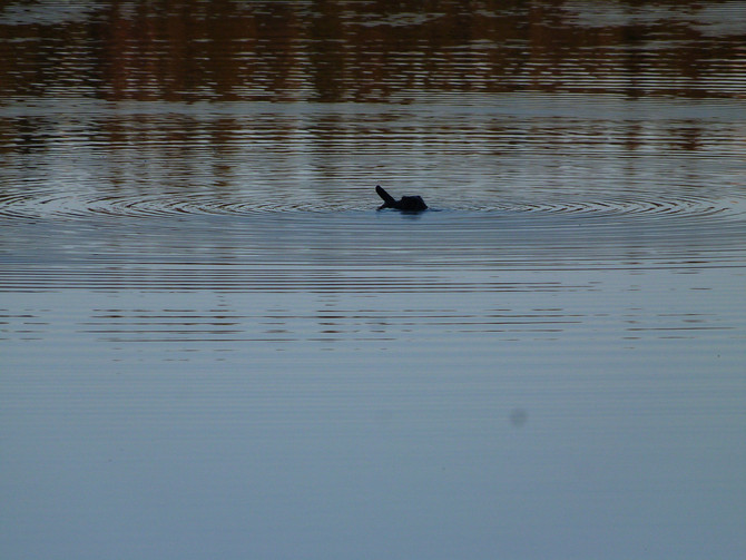 Beaver swimming in McConnell lake!