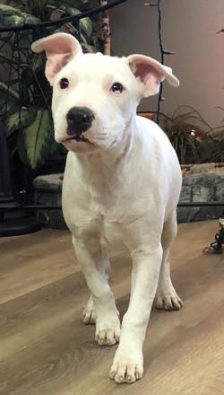 8978 Lexie (Fem Cattledog/Terrier)