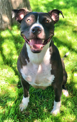8735 Luther (Male Pitbulll)