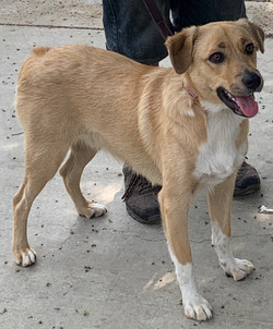 8876 Scout (Male Border Collie/Lab)