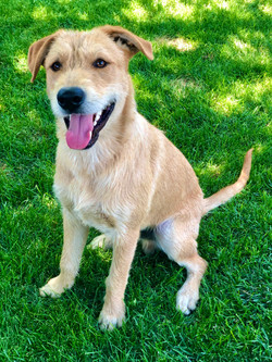 8810 Dusty (male Airedale mix)