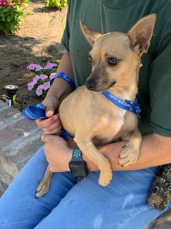 8932 Antonio (Male Chihuahua)