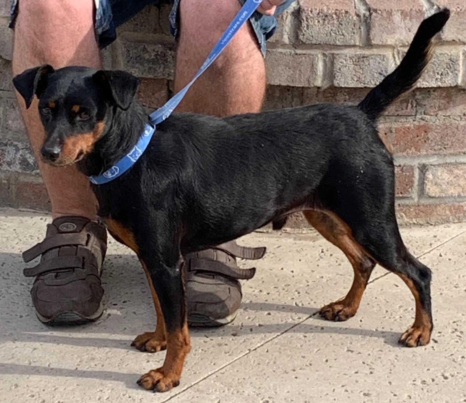 8527 Allister (Male Manchester Terrier)