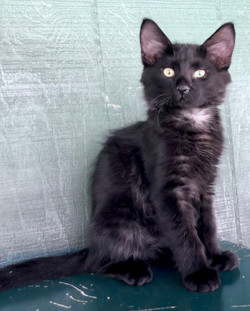 4642 Oliver (Male DMH)