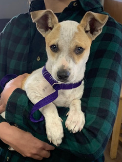 8733 Flash (Male Jack Russell Mix)