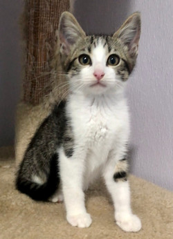 4650 Sprout (Male DSH)
