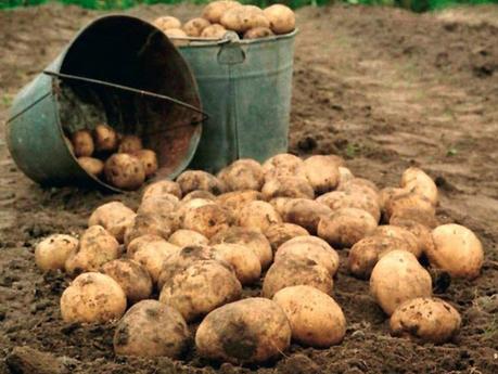 Хроники картофельной империи