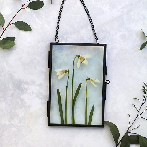 Real snowdrops flowers glass botanical art with black metal frame