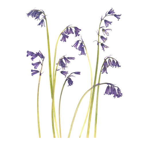 A4 giclee print of real pressed English Bluebells, botanical floral wall art