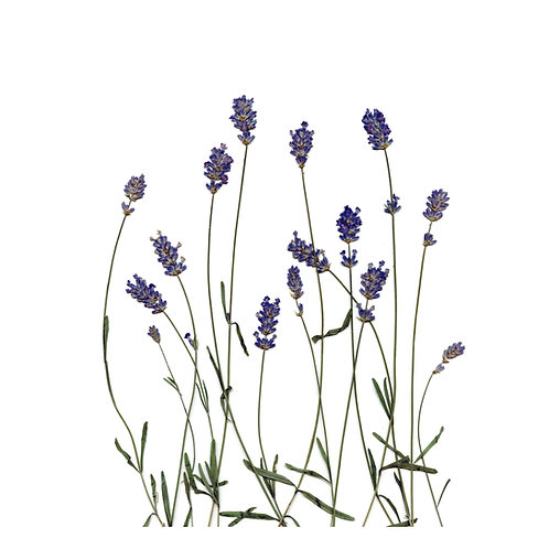 A4 giclee print of real pressed lavender, botanical floral wall art