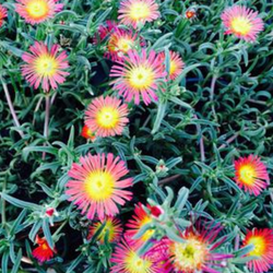 Fire Spinner Ice Plant