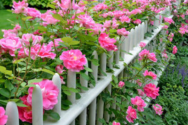 Roses on Picket Fence