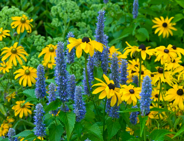 Black-Eyed Susan and Blue Hyssop