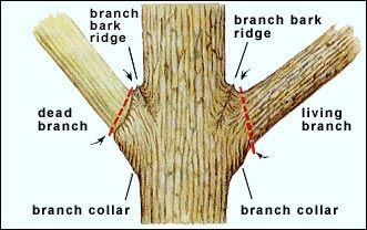 tree_branch_collar.jpg