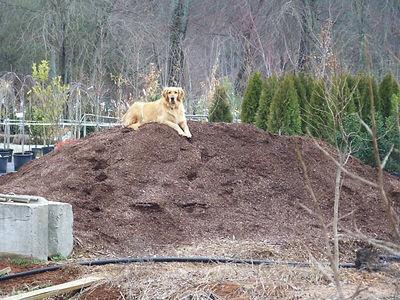 Honeybee_on_mulch.jpg