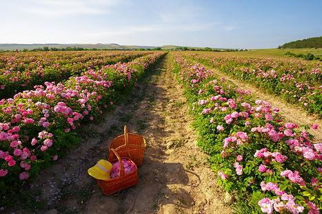 champ-roses_93675-34084.jpg