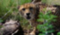 Cheetah 03.jpg