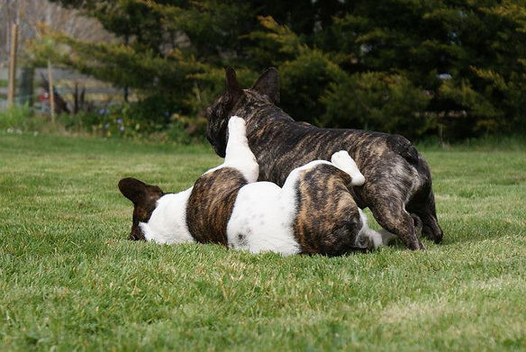 Tyzahn French Bulldogs New Zealand