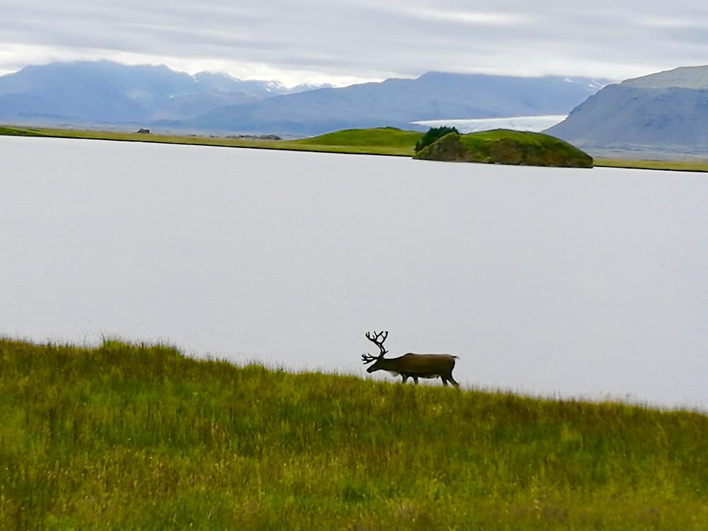אייל צפוני במזרח איסלנד