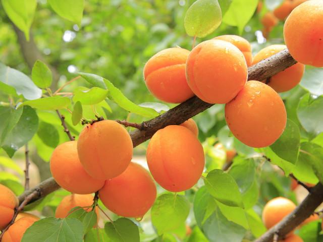 apricots-824626_1920.jpg