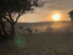 Sunset Lambs.jpg