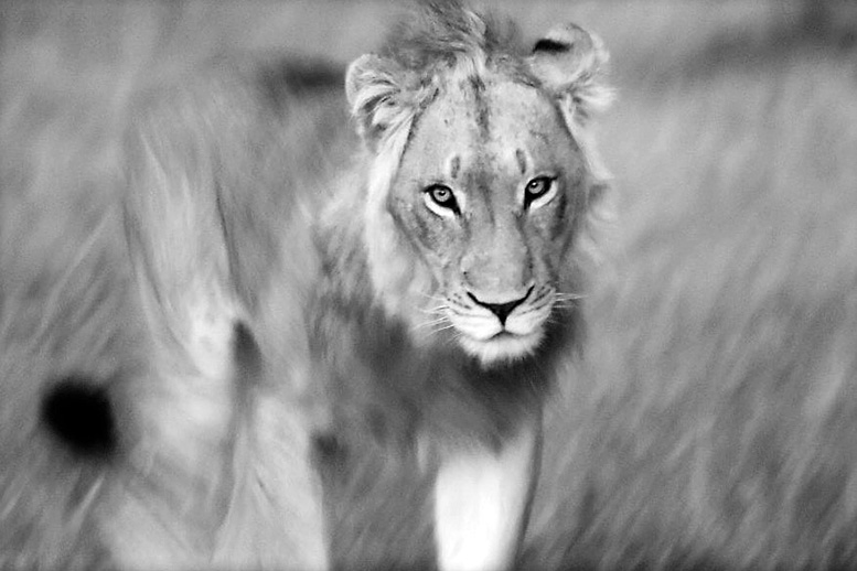 2 Lion young male BW
