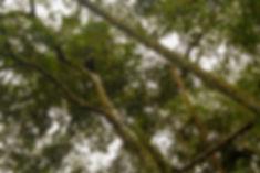 Howler monkey alpha male